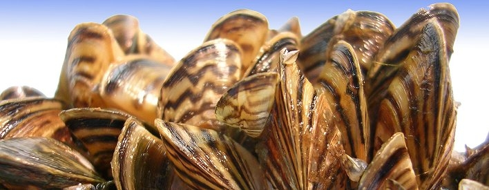 Cluster of zebra mussels