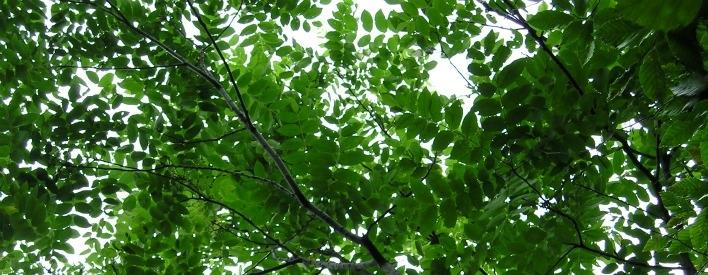 leaves of a butternut tree