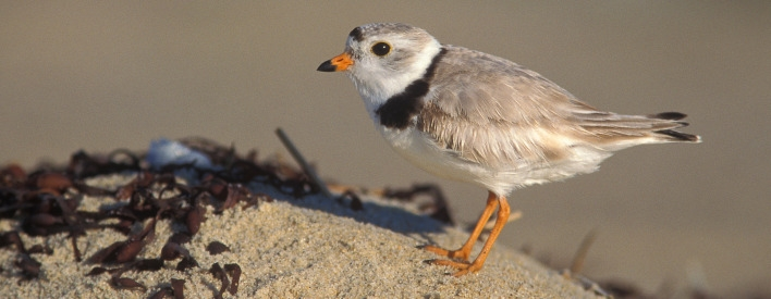 piping plover, an endangered species