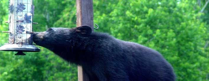 Black bears are attracted to seed, suet and nectar.   To avoid attracting bears, only feed birds during the winter only.