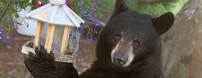 Les ours sont attirés par les graines, le suif et le nectar. Pour éviter d'attirer les ours, sortir les mangeoires d'oiseaux seulement en hiver.