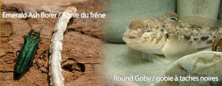 The emerald ash borer and the round goby are just two of the invasive species threatening Ontario's biodiversity.