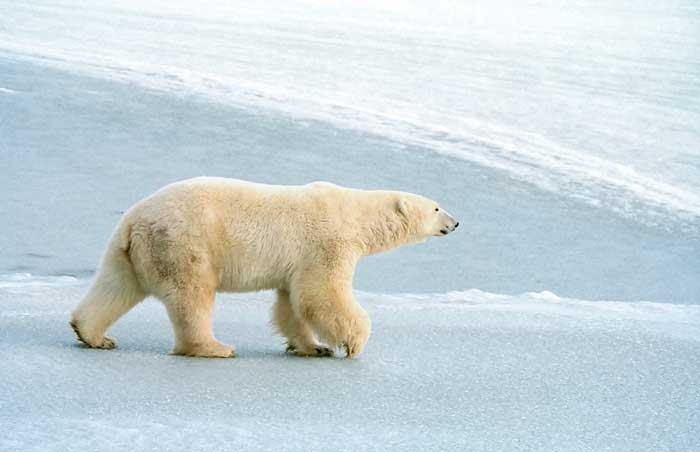 In Ontario, polar bears are found along the coasts of Hudson Bay and James Bay, with females often moving inland to maternal dens.